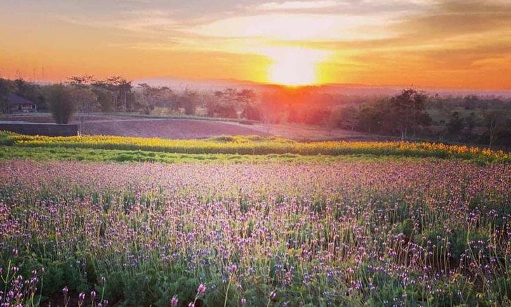 ทุ่งดอกลาเวนเดอร์ใหญ่ที่สุดในไทย ที่วังน้ำเขียวโคราช