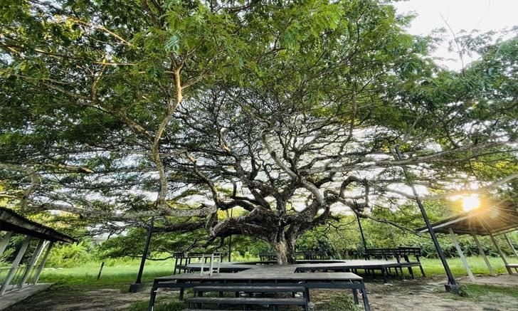 ต้นก้ามปูยักษ์ อายุกว่า 150 ปี แหล่งท่องเที่ยวใหม่เมืองระยอง