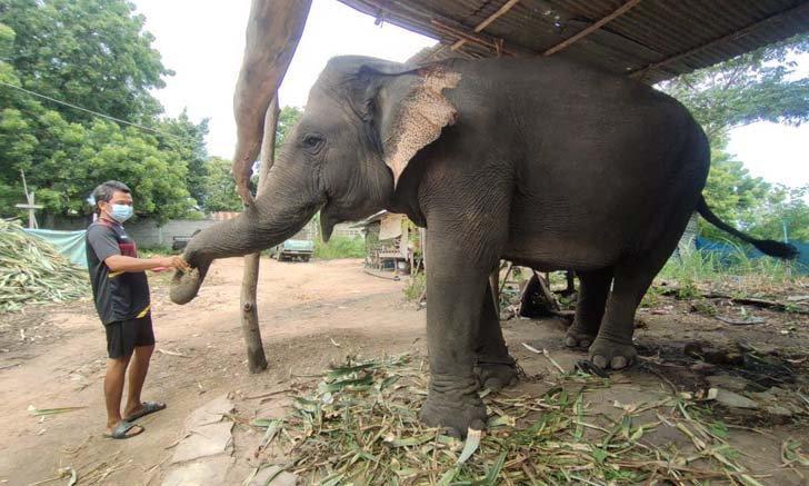 ครอบครัวควาญช้าง สู้วิกฤตไลฟ์สดขายอาหารช้างออนไลน์