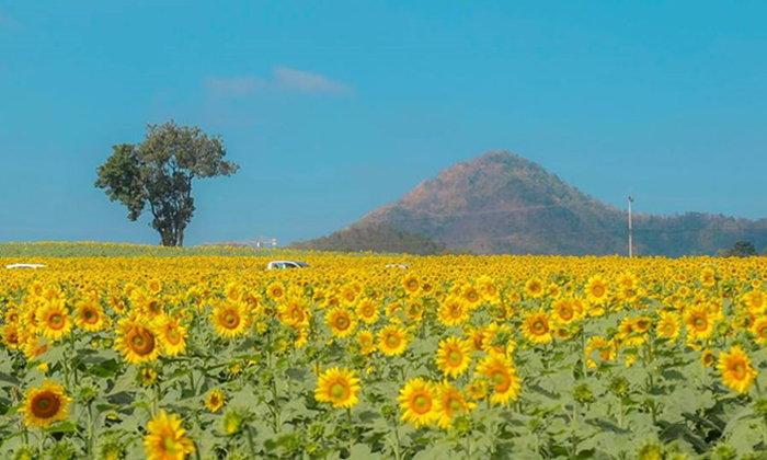 ภาพบรรยากาศดอกทานตะวันบานสะพรั่งกว่า 500 ไร่ ณ ไร่มณีศร