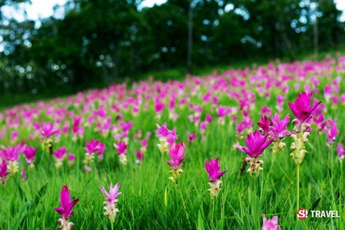 ชมทุ่งดอกกระเจียวบาน