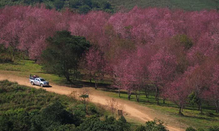 ภูลมโลกลายเป็นสีชมพู ภาพล่าสุดมหัศจรรย์แห่งดอกนางพญาเสือโคร่ง