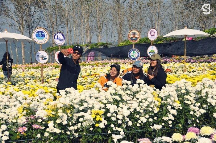ดอกเบญจมาศบานในม่านหมอก