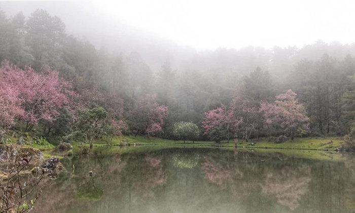 ดอกพญาเสือโคร่งบานกลางสายหมอก ณ ศูนย์อนุรักษ์พันธุ์กล้วยไม้รองเท้านารีดอยอินทนนท์