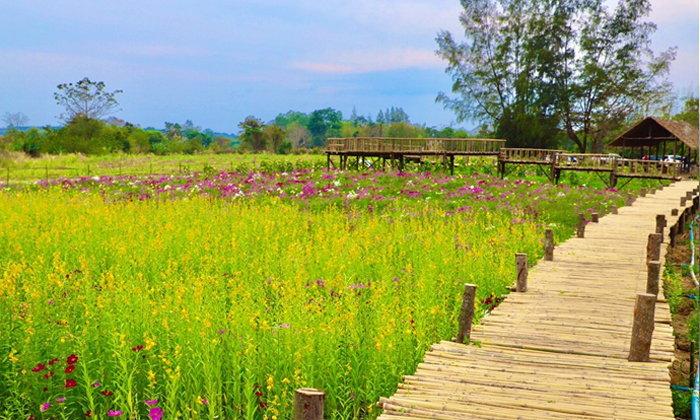 ทุ่งดอกไม้อิงเขากลางสะพานไม้ไผ่ แลนด์มาร์คแห่งใหม่ที่วังน้ำเขียว