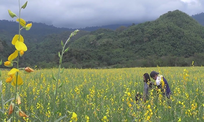 ทุ่งดอกปอเทือง ออกดอกบานสะพรั่ง เหลืองอร่าม ท่ามกลางขุนเขาจังหวัดเพชรบูรณ์