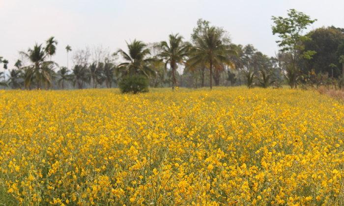 ปอเทืองกว่า 150 ไร่ บานสะพรั่งเหลืองอร่าม @อำเภอเสิงสัง โคราช