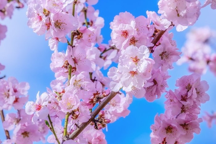 japanese-cherry-4061326_960_7