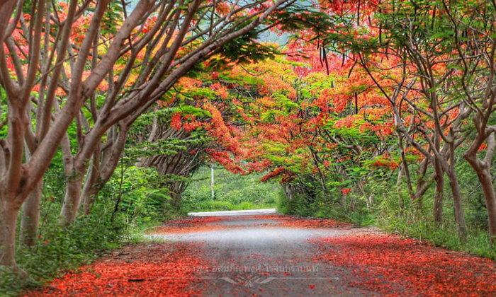 อุโมงค์ดอกหางนกยูงสีแดงบานสะพรั่ง Unseen ใบไม้เปลี่ยนสีแห่งปากช่อง