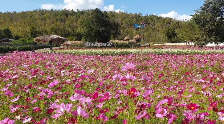 ชวนชมทุ่งดอกไม้เมืองหนาวที่สวนเกษตร66ปักธงชัย