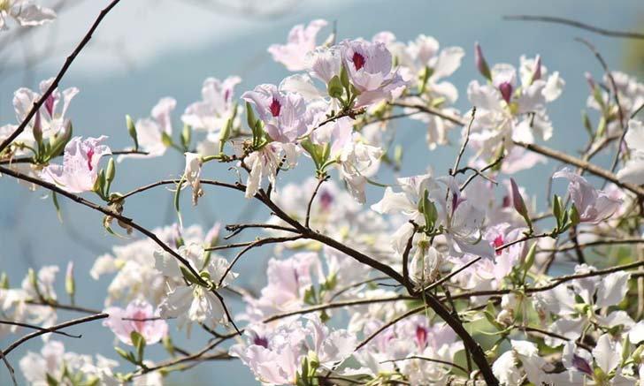 ชวนเที่ยวเทศกาลดอกเสี้ยวบานที่บ้านป่าเหมี้ยง จังหวัดลำปาง