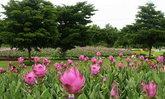 ทุ่งดอกกระเจียวบานสื่อรักวันแม่