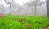 อัปเดตภาพ ทุ่งดอกกระเจียวอุทยานแห่งชาติป่าหินงาม บานแล้วกว่า 20 เปอร์เซ็นต์