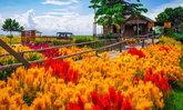 บ้านไร่ท้ายเขื่อน สุพรรณบุรี ชมทุ่งดอกหงอนไก่และดอกดาวกระจายบานสะพรั่งตระการตา