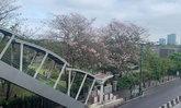 ดอกชมพูพันธุ์ทิพย์สวนจตุจักรบานสะพรั่ง มุมถ่ายรูปสวยใจกลางเมือง
