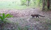 แมวป่าลายหินอ่อน 1 ใน 19 ชนิดสัตว์ป่าหายากโผล่อวดโฉมในอุทยานแห่งชาติเขาใหญ่