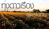 """ทุ่งดอกดาวเรือง สว่างงามเหลืองทั่ว """" สุโขทัย """""""
