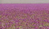 ปรากฏการณ์ประหลาด กลางทะเลทรายชิลีเกิดดอกไม้หลากสีเต็มทุ่ง