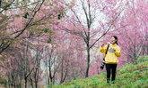 โค้งสุดท้ายดอกนางพญาเสือโคร่งภูลมโลปีนี้ รีบไปชมก่อนดอกไม้จะร่วงโรย!