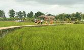 สะพานไม้ไผ่กลางทุ่งนาอำเภอพิมาย จุดเช็คอินสุดฟินในโคราช!