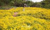 ทุ่งดอกเก๊กฮวย บิ๊กโจ๊ย คันทรี รีสอร์ท มุมถ่ายรูปสุดชิคที่น่าไปเช็กอิน