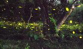 อลังการหิ่งห้อยนับหมื่น ณ กรมทหารปืนใหญ่ที่2 รักษาพระองค์ จ.ปราจีนบุรี