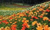 Tokorozawa Lily Garden สถานที่ชมดอกลิลลี่ตามธรรมชาติใกล้โตเกียว