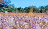 ทุ่งดอกไม้ป่าน้ำตกผาหลวงบานสะพรั่ง ความมหัศจรรย์ที่หาชมได้เพียงปีละครั้ง!