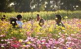 แปลงกังหันดอกไม้ ม.ขอนแก่น จุดเช็กอินถ่ายรูปสวยรับลมหนาว