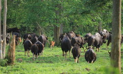 อุทยานแห่งชาติกุยบุรี เผยภาพฝูงกระทิงป่าออกหากิน สะท้อนความสมบูรณ์ของธรรมชาติ