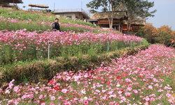 ดอกคอสมอสขั้นบันไดสวยงามที่บ้านน้ำจวง พิษณุโลก