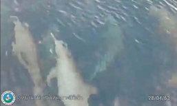 พบฝูงโลมากว่า 50 ตัวโผล่เล่นน้ำใกล้อุทยานแห่งชาติหมู่เกาะสิมิลัน