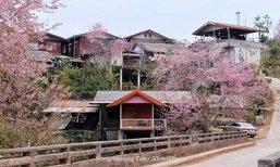 ซากุระบานกลางหมู่บ้านร่องกล้า! ดอกนางพญาเสือโคร่งที่สวยงามที่สุดแห่งหนึ่งของเมืองไทย