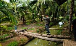 Cococowboy ไปตะลุยสวนมะพร้าวน้ำหอมเมืองแปดริ้ว