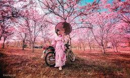 ซากุระด่านช้าง! ต้นดอกศรีตรัง บานสะพรั่งงดงามที่สุพรรณบุรี
