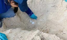 แม่เต่าตนุตัวแรกขึ้นวางไข่บนเกาะราบ เป็นแม่ตัวแรกที่ขึ้นวางไข่ในพื้นที่อำเภอเกาะสมุย