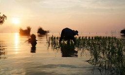 ทำนาในทะเลสาบ วิถีชีวิตหนึ่งเดียวในเมืองไทยของชาวพัทลุง