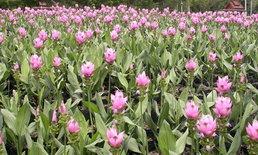 วันแม่ 2555 พาเที่ยวทุ่งดอกกระเจียวสื่อรักวันแม่ เมืองสุพรรณ