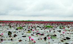 ทะเลบัวแดง กุมภวาปี บานหลงฤดูในช่วงหน้าฝน จ.อุดรธานี
