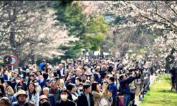 ซากุระบานสวยสะพรั่งแล้วที่โตเกียว