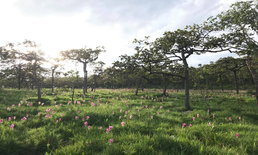 เริ่มขึ้นแล้ว ฤดูกาลเที่ยวชมทุ่งดอกกระเจียวบาน อช.ป่าหินงาม ประจำปีนี้