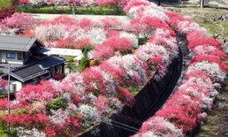 ไปชมความงามของดอกท้อที่สวยไม่แพ้ดอกซากุระ ที่หมู่บ้านอาจิ จ.นากาโนะ