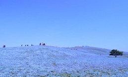 อยากฟินต้องรีบหน่อย! ทุ่งดอกเนโมฟิลาสีฟ้าสดใสบานสะพรั่งแล้วที่ Hitachi Seaside Park