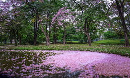 สวนรถไฟกลายเป็นสีชมพู! ดอกชมพูพันธุ์ทิพย์บานสะพรั่งทั่วพื้นที่สวนรถไฟ