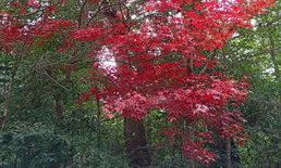 ใบเมเปิ้ลผลิใบแดงสดใสรอนักท่องเที่ยวชมสัมผัสที่เขตรักษาพันธุ์สัตว์ป่าภูหลวง จ.เลย