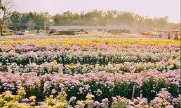 ทุ่งดอกเบญจมาศหลากสีกว่า 50 ไร่ บานสะพรั่งที่วังน้ำเขียว