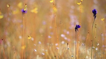 นอนกลิ้งกลางดงดอกไม้ดงนาทาม อุทยานแห่งชาติผาแต้ม อุบลราชธานี