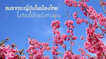 มกราคมนี้ ชมซากุระญี่ปุ่นในเมืองไทย..ไม่ต้องไปไกลถึงเมืองนอก