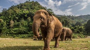 วิกฤตช้างไทย! เหตุนักท่องเที่ยวหายเพราะ COVID-19