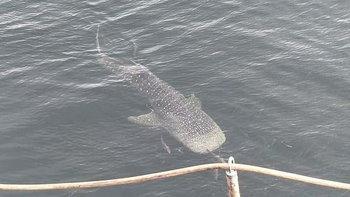 ฮือฮา! พบฉลามวาฬโผล่โชว์ตัวใกล้เกาะสีชัง หาชมยากมากในทะเลอ่าวไทย
